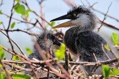 Plan rapproché des poussins de héron de grand bleu dans le nid Photo libre de droits