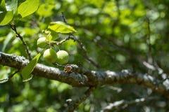 Plan rapproché des prunes mûrissant sur un arbre dans un jardin vert images stock