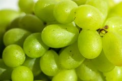 Plan rapproché des raisins verts images libres de droits