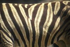 Plan rapproché des rayures de zèbre, San Diego Zoo, CA, Damara Zebra, antiquotum de burohellii d'Equus Images libres de droits