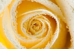 Plan rapproché des roses blanches avec des baisses de rosée Photos stock