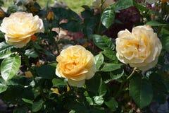 Plan rapproché des roses jaunes de Julia Child en fleur Images stock
