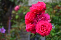 Plan rapproché des roses roses lumineuses merveilleuses avec les feuilles vertes photos stock