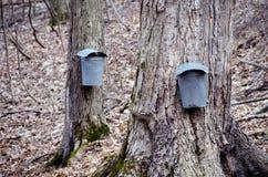 Plan rapproché des seaux et des robinets sur des arbres d'érable Images libres de droits