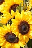 Plan rapproché des tournesols jaunes Photographie stock