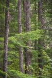 Plan rapproché des troncs et des branches d'arbre de sapin de Douglas dans la forêt photo libre de droits
