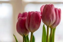 Plan rapproché des tulipes roses dans la lumière naturelle lumineuse Photographie stock libre de droits