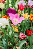 Plan rapproché des tulipes roses en parc de bord de la mer de Hitachi jpg Image libre de droits