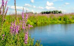 Plan rapproché des usines fleurissantes de salicaire commune de pourpre rougeâtre Photo stock
