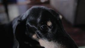 Plan rapproch? des yeux et museau du vieux teckel de race de chien Le chien est les yeux troubles tr?s fatigu?s banque de vidéos
