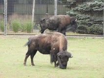 Plan rapproché deux de l'Américain Bison Grazing Photos stock