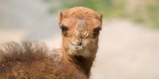 Plan rapproché drôle de chameau Bactrian photo libre de droits