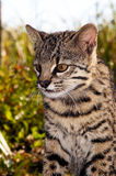 Plan rapproché du chat de Geoffroy Photo stock