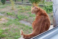 Plan rapproché du chat pelucheux de gingembre à la maison détendant photographie stock