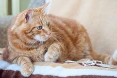 Plan rapproché du chat pelucheux de gingembre à la maison détendant photo libre de droits