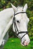 Plan rapproché du cheval blanc à la verdure d'agaist de pâturage Photographie stock