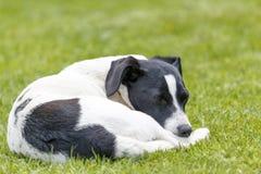 Plan rapproché du chien blanc de sommeil sur l'herbe verte Photos stock