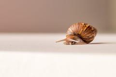 Plan rapproché du déplacement d'escargot Images stock