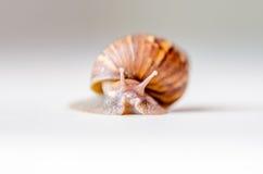 Plan rapproché du déplacement d'escargot Photo stock