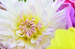 Plan rapproché du dahlia blanc avec les astuces pourpres Photographie stock