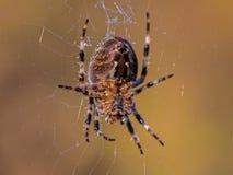 Plan rapproché du dessous de la carrosserie d'une araignée de jardin en Web avec les jambes troubles et le Web Photos stock