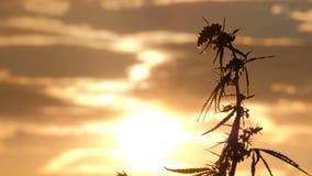 Plan rapproché du dessus d'une branche d'une jeune branche de chanvre balançant dans le vent dans la perspective d'un coucher du  banque de vidéos