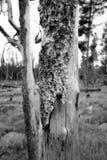 Plan rapproché du feu sauvage brûlé de Yellowstone d'arbre à partir de 1988 Photos stock
