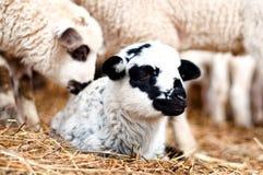 Plan rapproché du jeune petit agneau souriant et dormant Photo stock