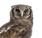 Plan rapproché du l'Eagle-hibou d'un Verreaux - lacteus de Bubo images libres de droits
