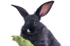 Plan rapproché du lapin noir mignon mangeant de la salade verte Photo stock