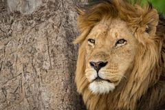 Plan rapproché du lion masculin par l'arbre rayé Photographie stock