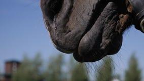 Plan rapproché du museau du cheval Le plan rapproché montre ses yeux et bouche Cheval mâchant sur quelque chose Plan rapproché ge banque de vidéos