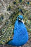 Plan rapproché du paon masculin Image libre de droits