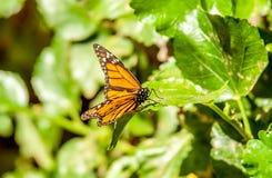 Plan rapproché du papillon sur la feuille images stock