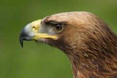 Plan rapproché du regard principal d'aigle d'or à gauche Photographie stock libre de droits