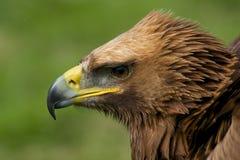 Plan rapproché du regard principal d'aigle d'or vers le bas Photo stock