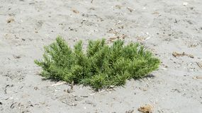 Plan rapproché du seepweed, spicata de Suaeda photographie stock