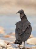 Plan rapproché du vautour moine Image libre de droits