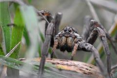 Plan rapproché du visage de regard effrayant d'une araignée de loup Hogna Radiat photos stock