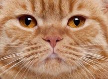 Plan rapproché du visage du chat britannique de Shorthair Images libres de droits
