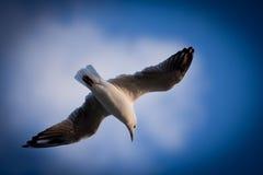 Plan rapproché du vol de mouette avec les ailes répandues image stock