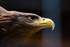 Plan rapproché Eagle chauve américain photo stock