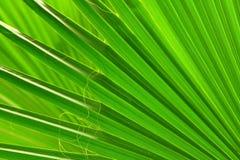 Plan rapproché en feuille de palmier vert Photographie stock libre de droits