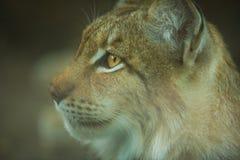 Plan rapproché eurasien de lynx Photographie stock libre de droits