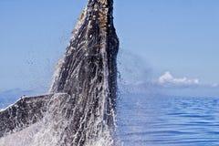 Plan rapproché extrême d'une baleine de bosse commençant une infraction image stock