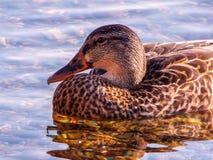 Plan rapproché extrême de canard dans la natation de lumière de début de la matinée dans le winnipesaukee de lac Photos stock