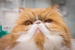 Plan rapproché fâché Cat Portrait Image stock