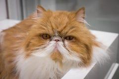 Plan rapproché fâché Cat Portrait Photographie stock libre de droits