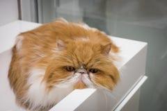 Plan rapproché fâché Cat Portrait Images libres de droits