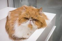 Plan rapproché fâché Cat Portrait Photos libres de droits